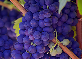 purple grapes on a wine
